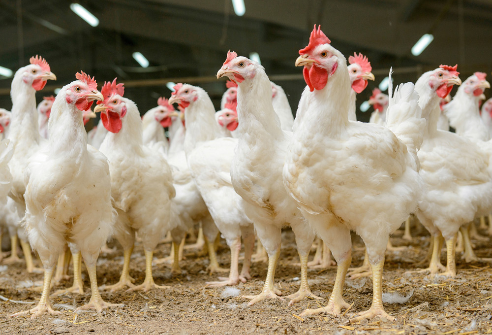 A Review of Coccidiostat Residues in Poultry